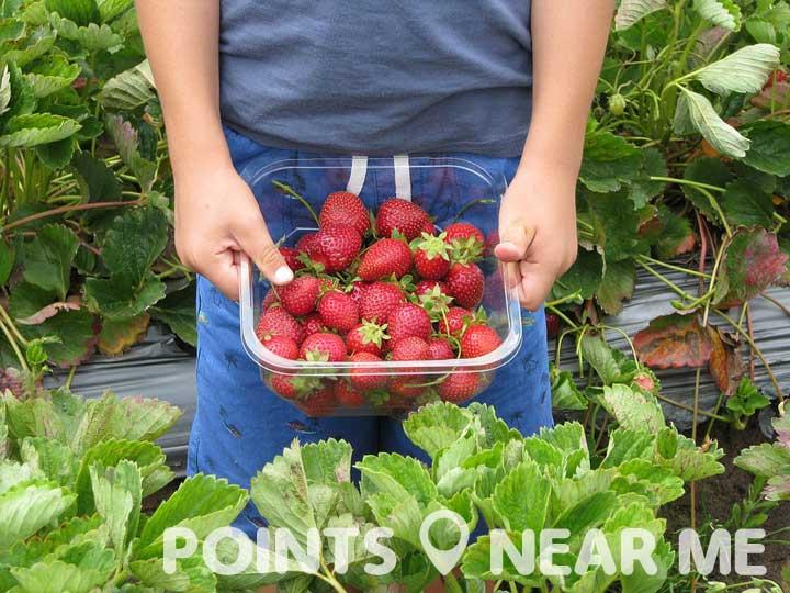 strawberry picking near me