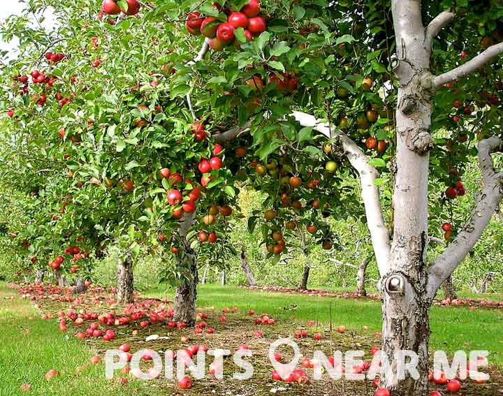 apple orchard near me